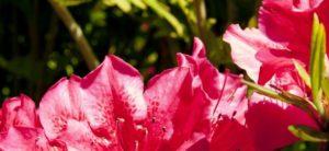 Różanecznik w przydomowym ogrodzie2